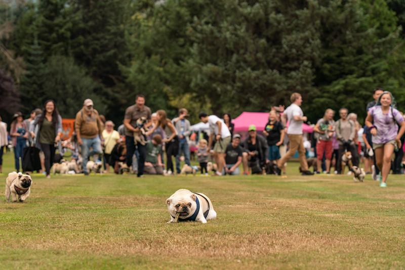 Pug races-KDS03251