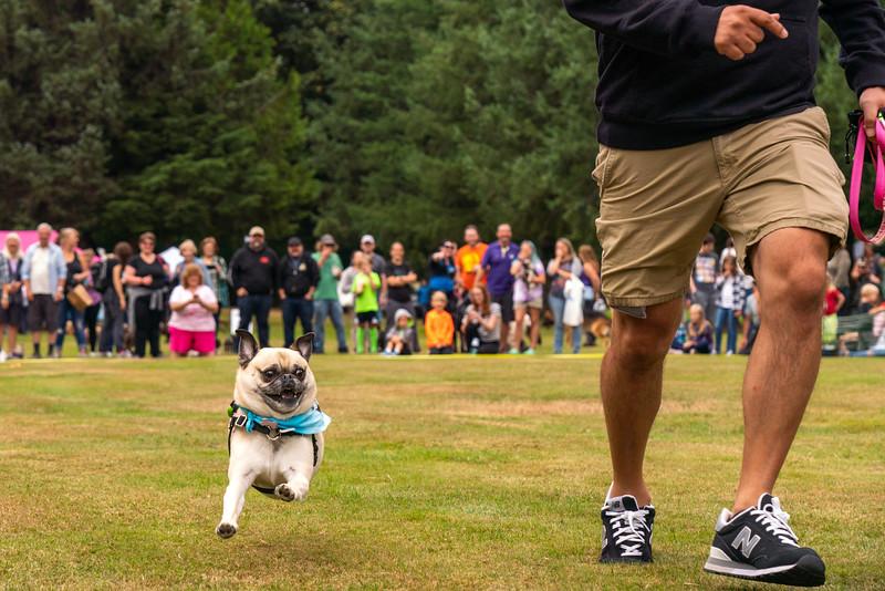 Pug races-KDS03403