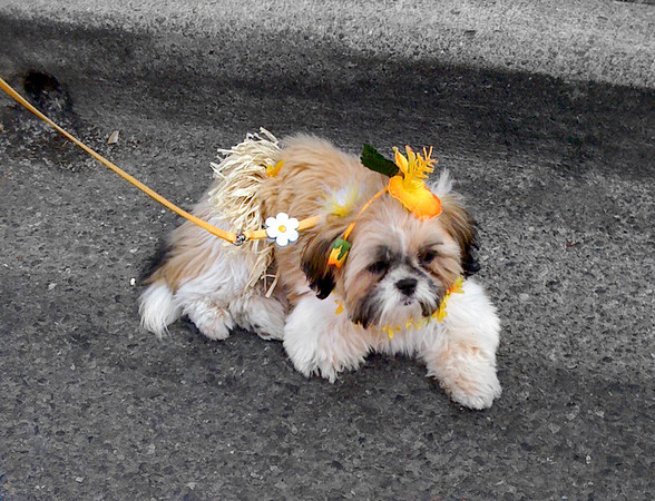hula dog taking a break before the costume contest-North Bend Block Party, WA 6-2009