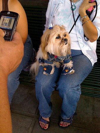 forever in blue jeans-canine couture-North Bend Block Party, WA 6-2009