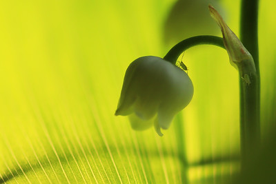 Aphids on Lily of the valley   by Bruno SUIGNARD