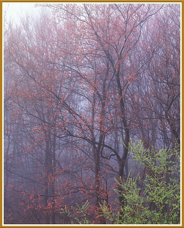 Budding Maple Trees in Morning Fog II