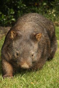 Lumbering Wombat