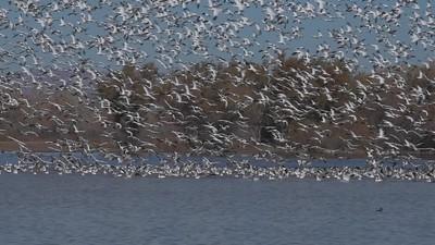 Snow Geese taking to flight