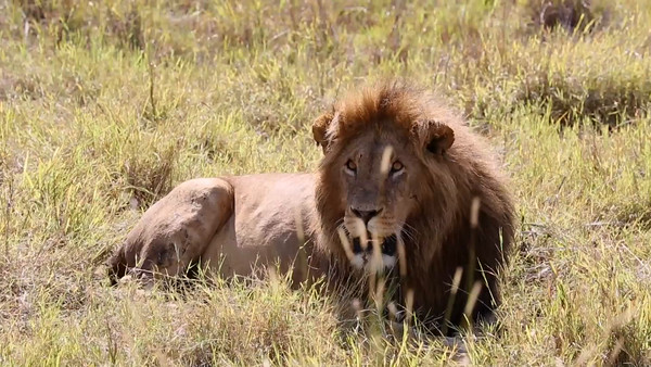 Saving the Mara Lion