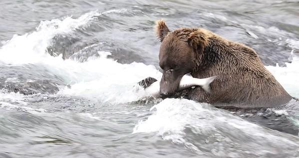 Brooks Falls - Salmon Feast