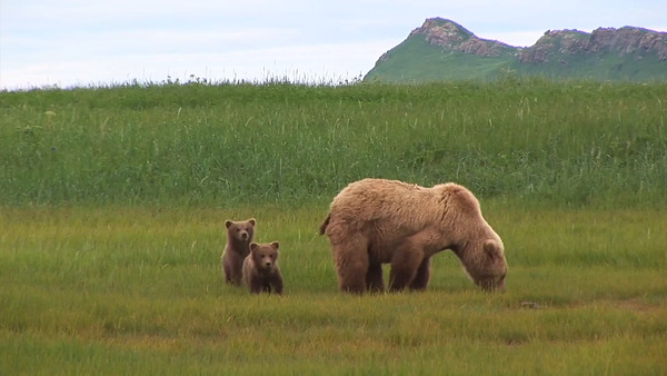 Griz sow and cubs
