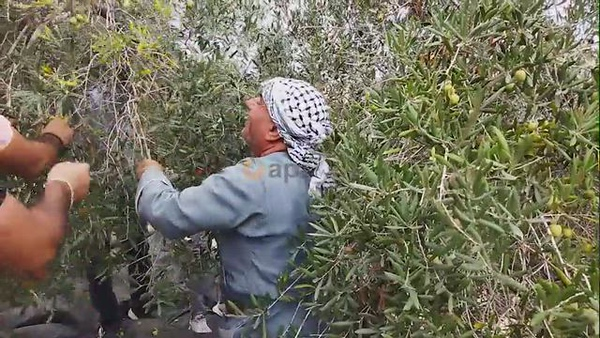 Palestinian volunteers pick olives in the lands of Burin village