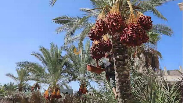 Palestinian farmers harvest dates from a palm tree during harvest season