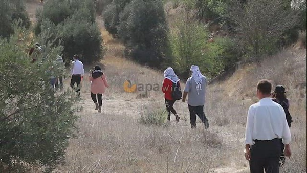 Palestinian volunteers pick olives near Otnael settlemen