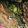 Obst Photos Nikon D300s Obst Adventure Travel Alaska Image 8816 or DBObst_8816_NEBirds.AK07-SewardAKTOAnchorage&DenaliParkAK.ResurrectionBayCliffBoundShoresNearSeward.Puffins-B