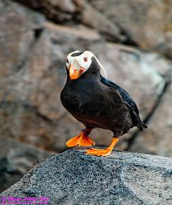 NEBirds_8720_AK07-SewardAKTOAnchorage&DenaliParkAK.SealifeCenterofSeward.Puffins-B or Obst Photos Nikon D300s Obst Adventure Travel Alaska Image 8720