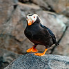 NEBirds_8720_AK07-SewardAKTOAnchorage&DenaliParkAK.SealifeCenterofSeward.Puffins-B or Obst Photos Nikon D300s Obst Adventure Travel Alaska Image 8720