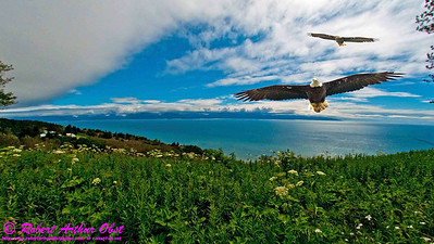 DBObst.CollagePS_0679_NEBirds.USA.AK12-HomerAKTOHotelAlyeskaGirdwoodAK.KachemakBay.EaglesAndWildflowersInFogNearKachemakBayByHomer-B
