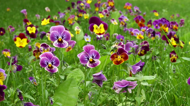 back yard pansies