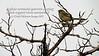 Rufous crowned sparrow singing