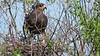 Florida Snail Kite