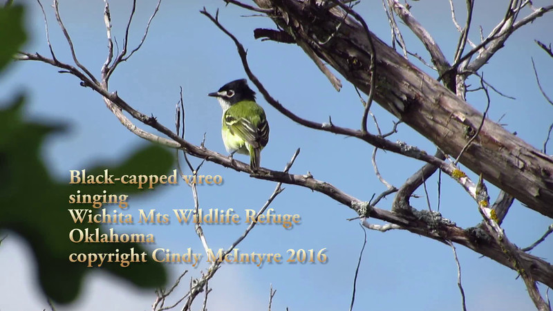 Black-capped vireo singing