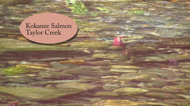 Kokanee Salmon HD
