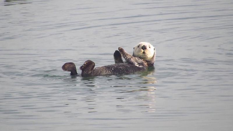 Sea Otter Antics