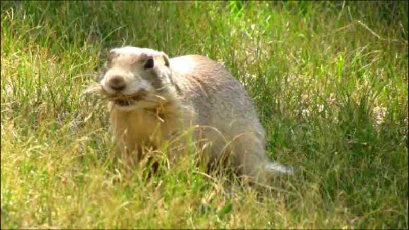 Prairie Dog Gathering Hay