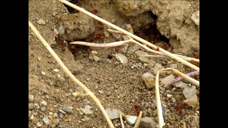 Harvester Ants Moving Gravel