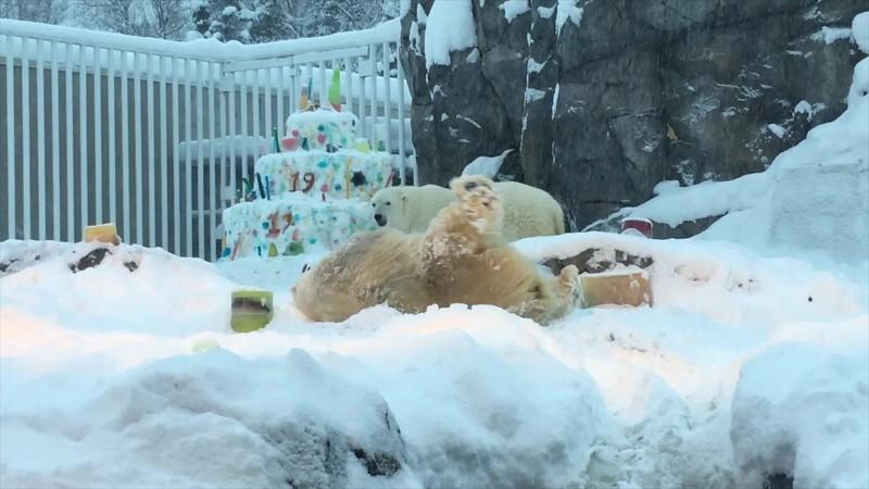 polar bear birthday video