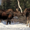 ASSORTED MOOSE VIDEOS :