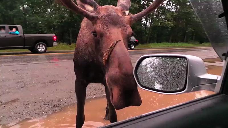 window moose