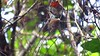 Guide Micah Riegner's video of a Black-eared Fairy as it builds its nest.