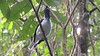 This video clip from guide Megan Edwards Crewe and Holiday 2017 Trinidad & Tobago tour shows a wonderfully bizarre male Bearded Bellbird, wattles-a-shaking, giving some of his ear-piercing calls near Asa Wright Nature Centre.