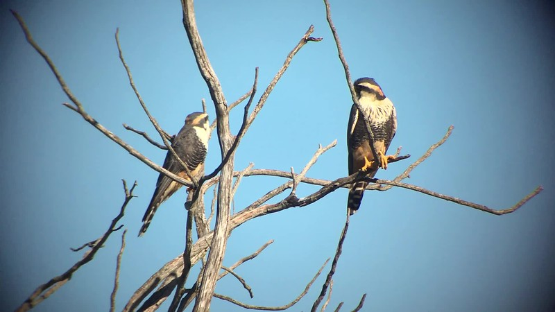Aplomado Falcons on the 2018 Alta Floresta & the Northern Pantanal tour, by guide Marcelo Barreiros