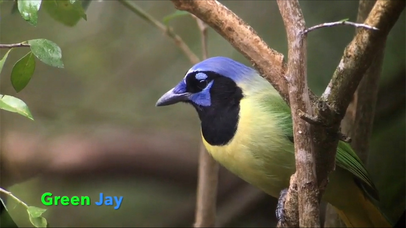 This clip features highlights from our January 2018 tour to South Texas in partnership with the Maine Audubon Society. Video compiled by guide Doug Gochfeld.