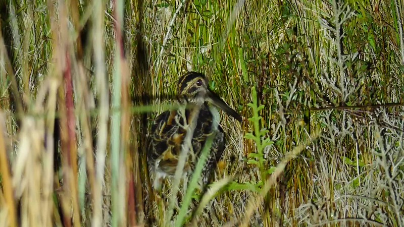 This Giant Snipe, near Boa Nova National Park, was simply massive! The white belly and powerfully patterned upperparts distinguish it from other sizable snipe of South America such as Imperial, Andean, and Fuegian (none of which occur in Brazil), and Giant dwarfs the smaller, widespread South American Snipe. This individual was subspecies gigantea, the largest snipe in the world! Video by Bret Whitney, with the whole tour group right beside him!