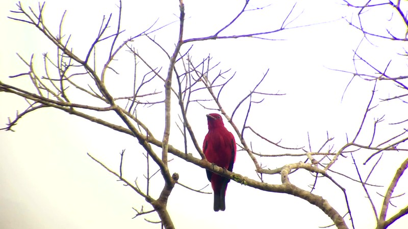 A big birding prize from northern Brazil: a Crimson Fruitcrow, a specialty of the Guianan Shield.