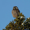 Northern Hawk owl out by the airport.