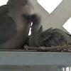 2019-06-27_ 1030 m1 dove chicks feeding_P6270015