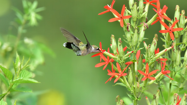 Hummingbird In The Prairie - 8610