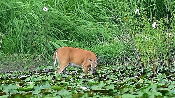 Whitetail eating lotus