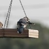 2019-07-14 Dove,Blue Jay,Rusty Blk Bird,Cardinal_P7140054