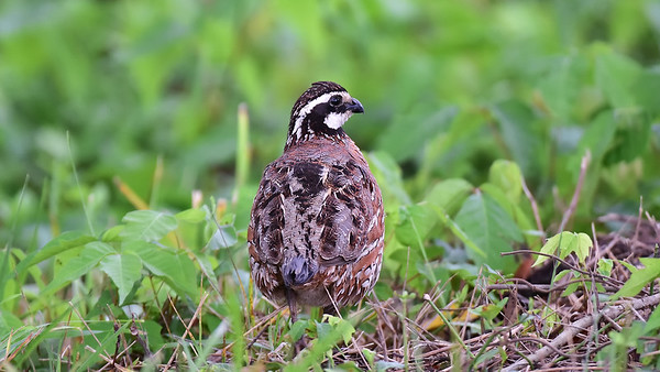 BOB WHITE QUAIL - Video