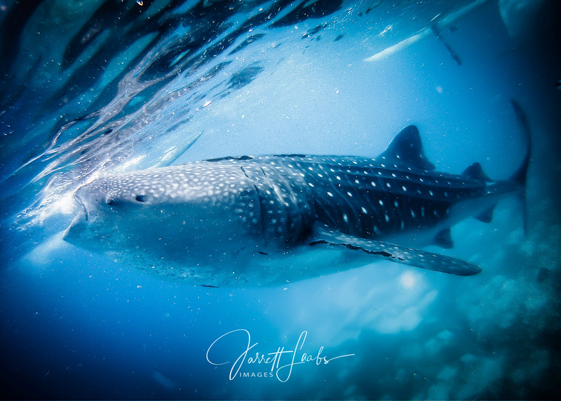 Whaleshark.300-0156.jpg
