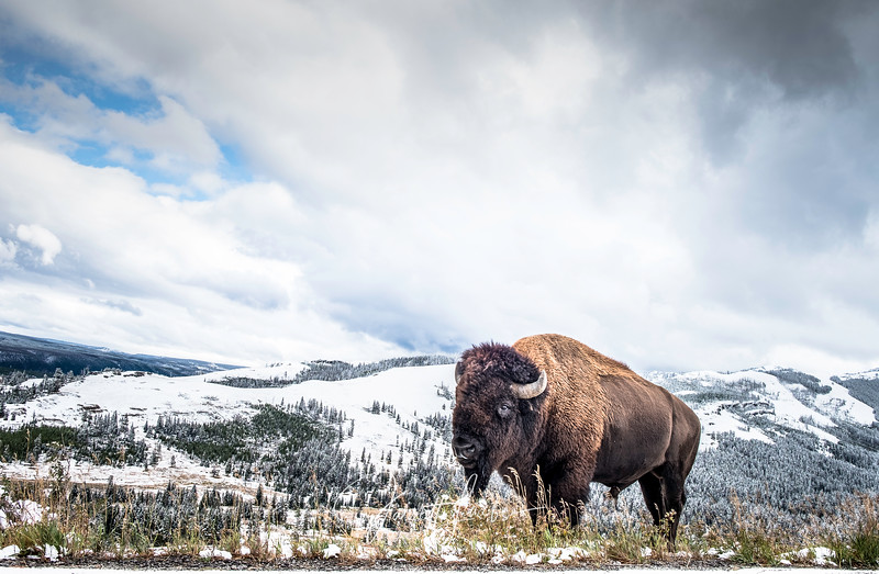 Male bison standing in a snowy Yellowstone on a cold cloudy day