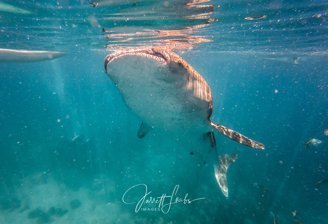 Underwater photo of a whale shark feeding on plankton near the surface in the Bohol Sea