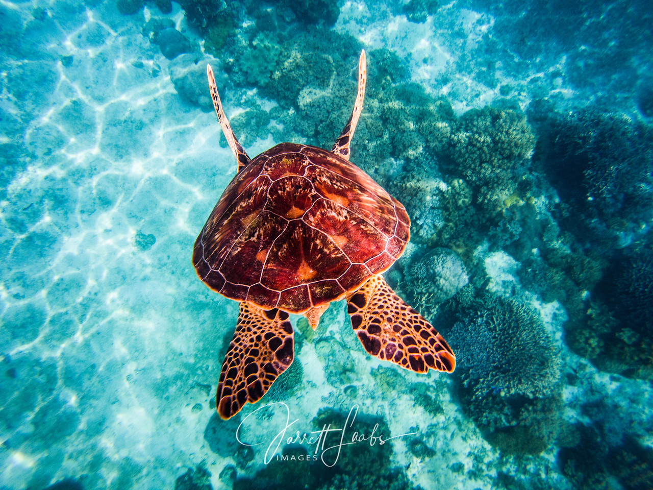 A large sea turtle dives deeper in aqua sea water in Balicasag, Philippines