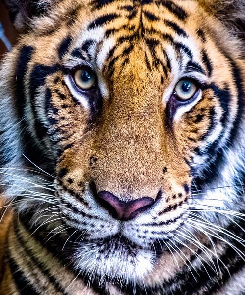 tiger-1572.jpg