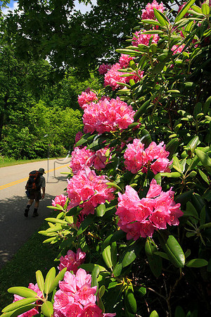 VA BRP APPLE ORCHARD MOUNTAIN RHODODENDRON JUNEJGDPP_MG_0194SSW