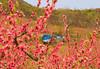 VA CROZET Nectarines APRILAC_MG_0564bMMW