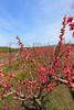 VA CROZET Nectarines APRILAC_MG_0778cMMW