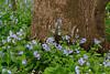 VA MANASSAS BULL RUN REGIONAL PARK BLUEBELL TRAIL APRILAC_MG_7692MMW